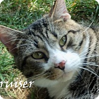 Domestic Shorthair Cat for adoption in Chambersburg, Pennsylvania - Bruiser