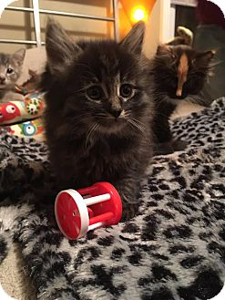 Domestic Longhair Kitten for adoption in Troy, Michigan - Corey