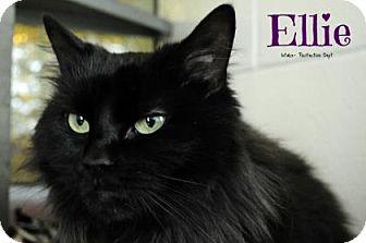 Domestic Longhair Cat for adoption in Hamilton, Ontario - Ellie