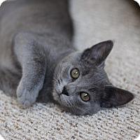Adopt A Pet :: Sushi - Richmond, VA