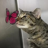 Domestic Shorthair Cat for adoption in Yukon, Oklahoma - Donna Noble