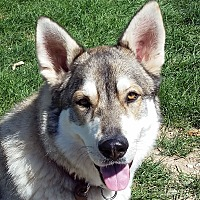 Alaskan Malamute/German Shepherd Dog Mix Dog for adoption in Boise, Idaho - SAMSON(2)