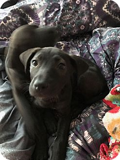 Labrador Retriever Mix Puppy for adoption in Mesa, Arizona - DORY 8 WEEK LAB FEMALE