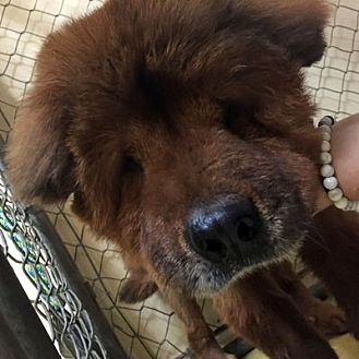 Chow Chow Dog for adoption in Ventura, California - Babe