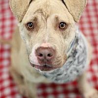 Adopt A Pet :: Butter - Philadelphia, PA