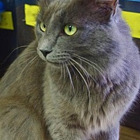 Adopt A Pet :: Ronan (Specks Greenwood) - Nashville, IN
