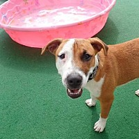 Adopt A Pet :: Charlie Girl - Plant City, FL