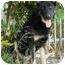 Photo 3 - German Shepherd Dog Dog for adoption in Los Angeles, California - Brandy von Beckerstein