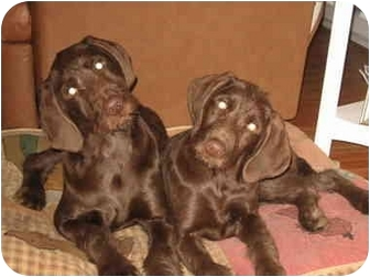 Standard Poodle/Weimaraner Mix Puppy for adoption in Hayden, Idaho - Leroy, Lenny, Lewis