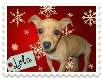 Chihuahua Dog for adoption in San Clemente, California - LOLA