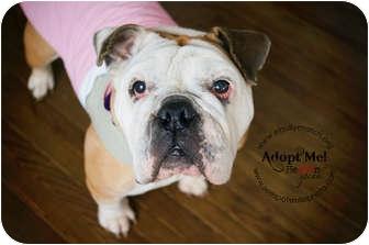 English Bulldog Dog for adoption in Park Ridge, Illinois - Fergie