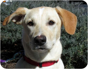 Labrador Retriever/German Shepherd Dog Mix Dog for adoption in Overland Park, Kansas - Shelby