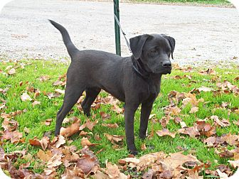 Labrador Retriever Dog for adoption in Paris, Illinois - Captain