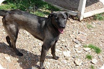 Catahoula Leopard Dog/Shepherd (Unknown Type) Mix Dog for adoption in Hot Springs, Arkansas - Elias