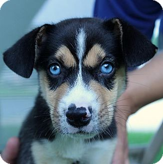 Siberian Husky/Beagle Mix Puppy for adoption in South Jersey, New Jersey - Brandon
