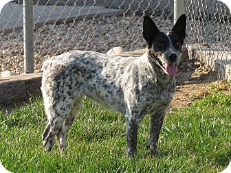 Blue Heeler/Border Collie Mix Dog for adoption in Meridian, Idaho - Brook