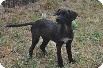 Terrier (Unknown Type, Small) Mix Puppy for adoption in Tumwater, Washington - Abby