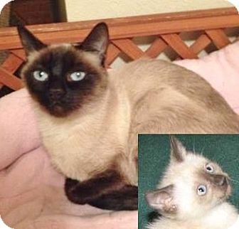 Siamese Cat for adoption in Davis, California - Lola aka Lapis