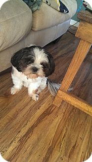 Shih Tzu Dog for adoption in Clarksville, Tennessee - Ms. Abby