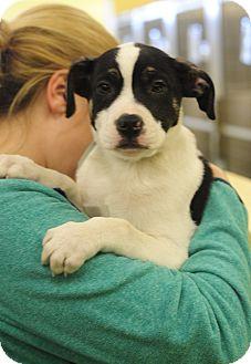 Labrador Retriever/American Bulldog Mix Puppy for adoption in Rochester, New Hampshire - Tony