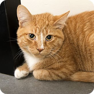 Domestic Shorthair Cat for adoption in Wilmington, Delaware - Chili