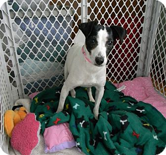 Jack Russell Terrier Mix Dog for adoption in Elyria, Ohio - Maxie