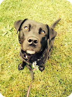 Labrador Retriever/Pit Bull Terrier Mix Dog for adoption in Issaquah, Washington - Captivating Carson