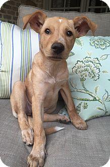 Labrador Retriever Mix Puppy for adoption in Memphis, Tennessee - Topanga