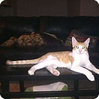 Domestic Shorthair Cat for adoption in Mesa, Arizona - Lucky