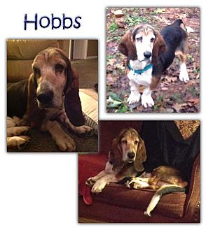 Basset Hound Dog for adoption in Marietta, Georgia - Hobbs