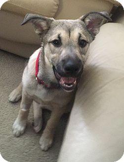 German Shepherd Dog/Husky Mix Puppy for adoption in Toledo, Ohio - Trixie
