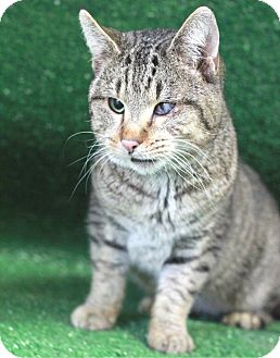 Domestic Shorthair Cat for adoption in South Haven, Michigan - Pinocchio