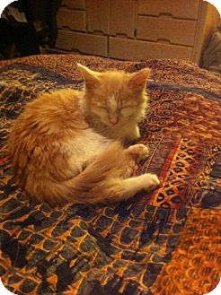 Domestic Mediumhair Cat for adoption in Phoenix, Arizona - Custard