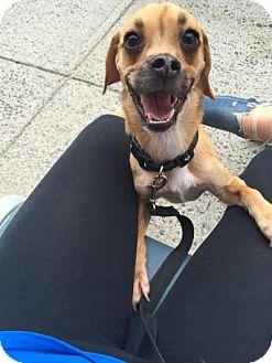 Pug/Beagle Mix Dog for adoption in Cliffside Park, New Jersey - SABLE