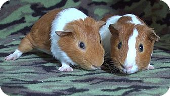 Guinea Pig for adoption in Highland, Indiana - Paras