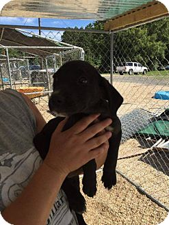 Labrador Retriever Mix Puppy for adoption in Hammond, Louisiana - Cheyenne