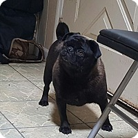 Adopt A Pet :: Betsy - ADOPTION PENDING!! - Antioch, IL