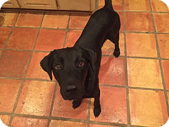 Labrador Retriever Mix Dog for adoption in Vancouver, British Columbia - Trooper