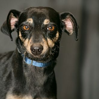 Miniature Pinscher/Terrier (Unknown Type, Small) Mix Dog for adoption in Inglewood, California - Fancy Pants
