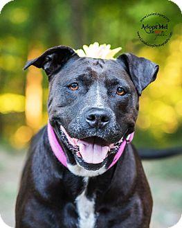 Pit Bull Terrier/Labrador Retriever Mix Dog for adoption in Cincinnati, Ohio - Cricket- WAIVED FEE