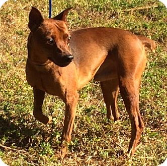 Miniature Pinscher Dog for adoption in Ft Myers Beach, Florida - Look what they did to me!!!