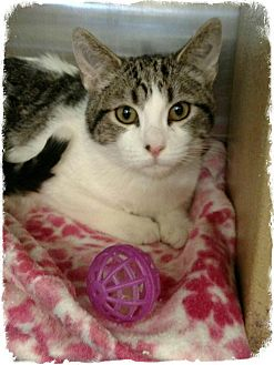 Domestic Shorthair Kitten for adoption in Pueblo West, Colorado - Andrew