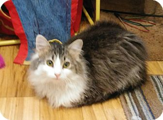 Maine Coon Kitten for adoption in Madison, Tennessee - Nickolas loves kids!