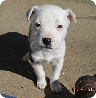 Pit Bull Terrier Puppy for adoption in South Burlington, Vermont - THELMA