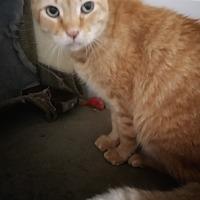 Adopt A Pet :: Pumpkin - Jackson, MO