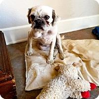 Adopt A Pet :: Baby Leia, aka Ewok, pug girl - Corona, CA