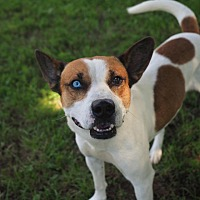 Adopt A Pet :: Shane - Washburn, MO