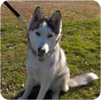 Siberian Husky Dog for adoption in Horsham, Pennsylvania - KODIAK