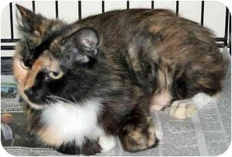 Domestic Longhair Cat for adoption in Arkadelphia, Arkansas - Pixie