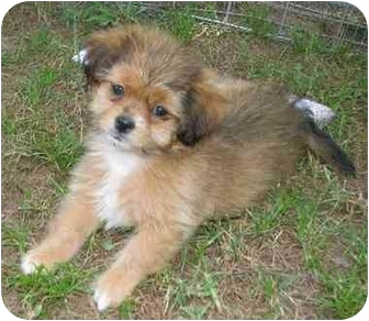 Lhasa Apso Mix Dog for adoption in Muldrow, Oklahoma - Pumpkin